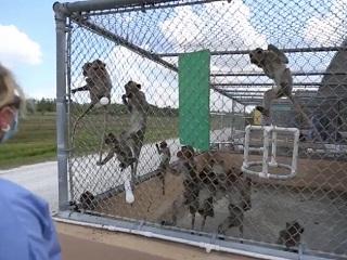 Primate Products: uma empresa nos EUA que produz macacos de laboratório e fabrica mentiras