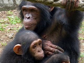 Juíza dos EUA admite a ideia de chimpanzés terem direitos como os seres humanos