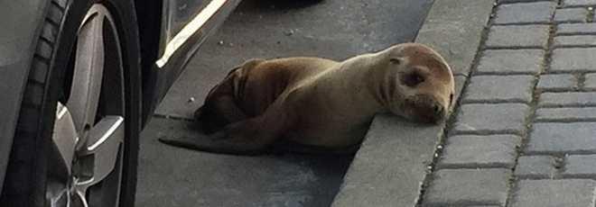 Filhote de leão-marinho é resgatado nas ruas de São Francisco, nos EUA