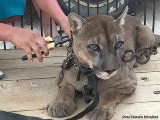 Peru: Felino que vivia em um carro de circo é libertado da vida nas correntes