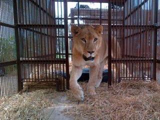 Leões resgatados de circos no Peru serão levados para os EUA