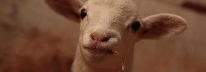 Ovelha que nasceu sem os pés pode agora correr com seus amigos