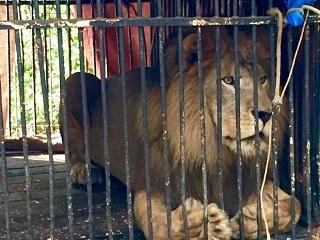 Leão abandonado por circo em MT após morte da mãe será levado a SP