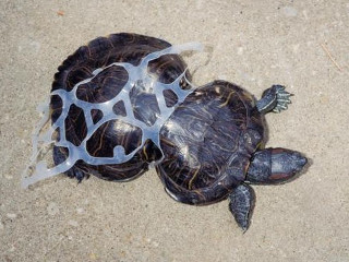 Missouri tartaruga1 H