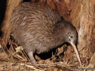 NovaZelandia passaro kiwi H