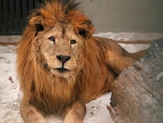 Governo vai analisar proposta para doar leão que vive no Zoológico de Brasília