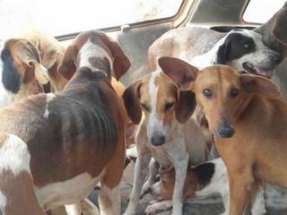 GO: Polícia Ambiental de Goianésia apreende 11 cachorros em situação de maus-tratos