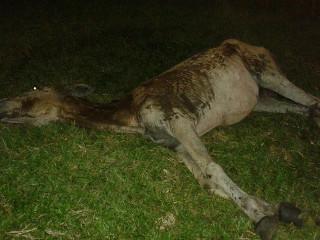 PA Ananindeua cavalo abandonado1 H