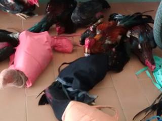 Polícia resgata aves que estavam em rinha na zona rural de Buíque, Agreste de PE