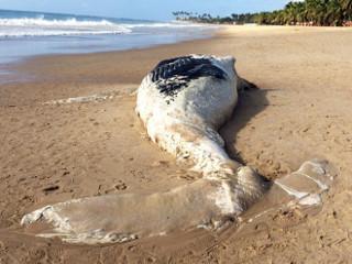 Baleia morta encalha em praia de Ipojuca, no Litoral Sul de PE