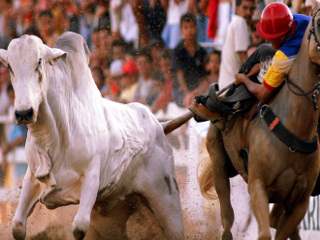 PI: Legalizada como esporte, vaquejada sofre críticas por maus-tratos a animais