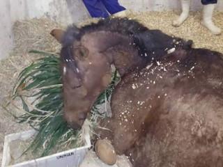 SP Marilia cavalo morre H