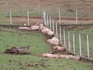 G1 mostra santuário de porcos resgatados em acidente no Rodoanel, SP