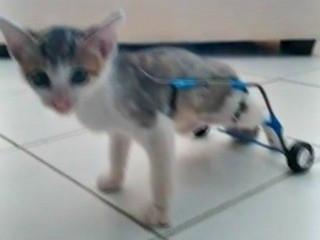 No Acre, casal adota gato deficiente e improvisa cadeira de rodas