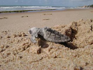 Começa temporada de desova das tartarugas marinhas no litoral alagoano