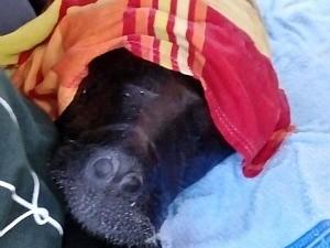 Filhote de peixe-boi de 4 meses é resgatado no interior do Amazonas