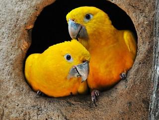 Ararajuba tem as cores do Brasil e corre o risco de desaparecer