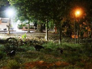 Desmatamento faz capivaras 'migrarem' para conjunto residencial em Manaus, AM