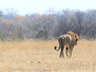 África deve perder até metade dos leões nas próximas décadas