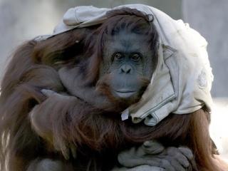 Orangotango Sandra, que conseguiu habeas corpus para deixar zoo portenho, viverá livre no Brasil