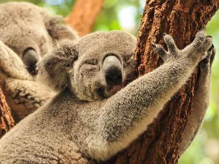 Austrália: Cientistas pedem sacrifício em massa de koalas contra doença