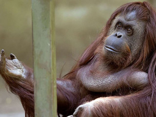 A orangotango Sandra está livre e pode deixar o zoo portenho