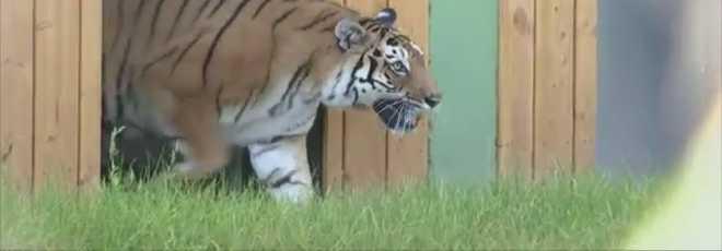 Tigre que viveu 12 anos no circo pisa a relva pela primeira vez; vídeo