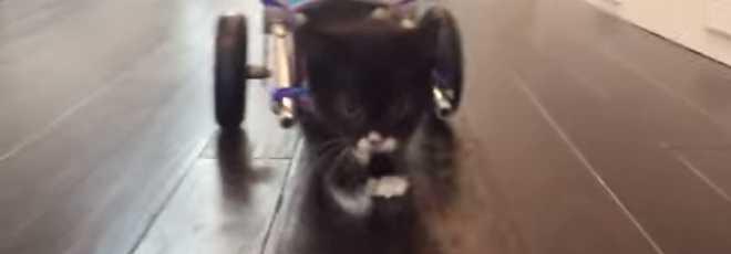Gato sem patas traseiras recebe cadeira de rodas e dá os seus primeiros passos