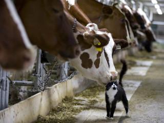 Esta doce foto de um gato com vacas leiteiras captura a dura verdade sobre humanos
