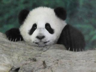 Extração de madeira ilegal põe em risco santuários do panda gigante da China