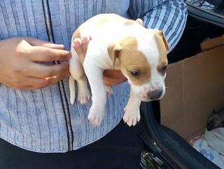 Filhotes de cães são vendidos sem fiscalização na Feira do SIA, no DF