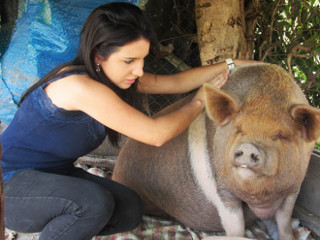 Vendida como 'mini', porca de 160 kg escapa de abate e ganha cama no DF