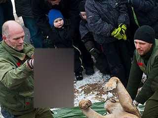 Zoológico da Dinamarca causa furor ao anunciar dissecação de leão