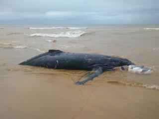 Filhote de baleia Jubarte aparece morto encalhado em praia na Serra, ES