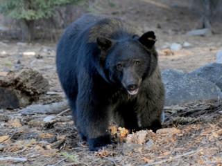 EUA: Flórida tem 300 ursos negros mortos após polêmica temporada de caça