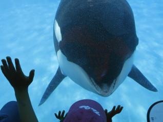 EUA: Justiça da Califórnia proíbe SeaWorld de criar baleias em cativeiro