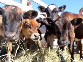 Mais de 200 animais 'de fazenda' resgatados em condições deploráveis de um matadouro nos EUA