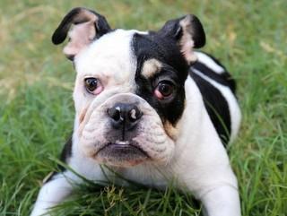 Bonsai, o cãozinho que é exemplo de superação