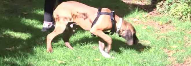 Cão que foi criado em jaula pisa na grama pela primeira vez. Assista!