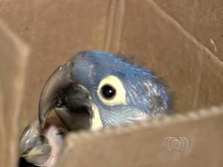 Três homens são presos com 300 aves silvestres em casa de Goiás
