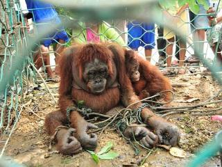 Após maus-tratos, jovem orangotango curte liberdade pela 1ª vez na Indonésia