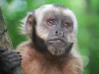 Grupo de direitos dos animais diz que macacos são secretamente submetidos a testes científicos danosos na Inglaterra