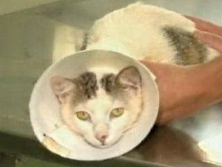 Gato tem pata e rabo amputados em ato de crueldade em Glaucilândia, MG