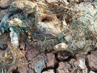 Sete jacarés ficam presos em rede dentro de lagoa quase seca em MG