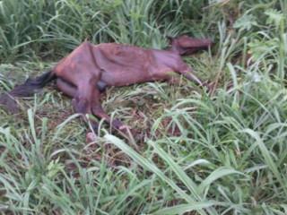 Desnutrido, cavalo é jogado e abandonado em matagal, em Nova Andradina, MS