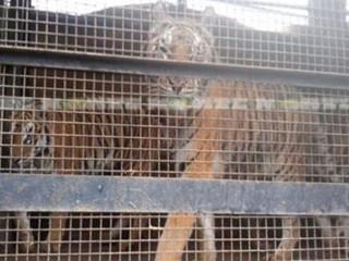 Foram apreendidos nove tigres-de-bengala de um circo em Chaco, no México