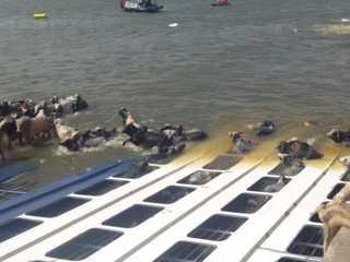 Embarcação afunda e bois tentam escapar de naufrágio em Barcarena, PA