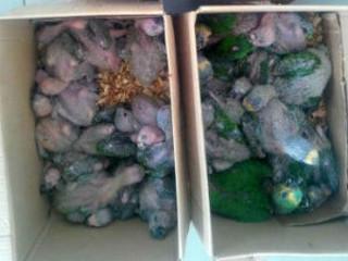 Homem é preso com 35 filhotes de aves silvestres, no noroeste do PR