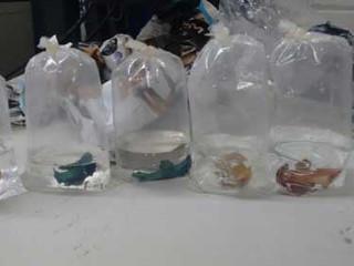 Peixes ornamentais enviados por Sedex são apreendidos em Londrina, PR