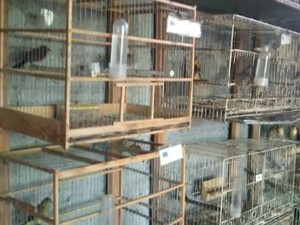 Homem é preso por manter 277 aves em criadouro irregular em Paranavaí, PR